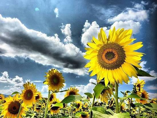 Photocompetition sunflowers for Piantare girasoli